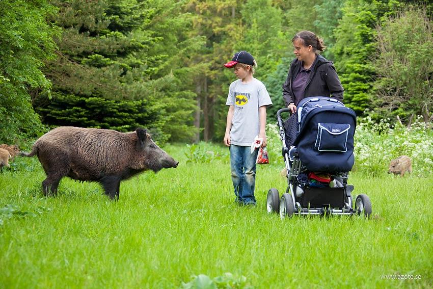 Vildsvin och familj på promenad hälsar på varandra. Foto: S-E Arndt/Azote
