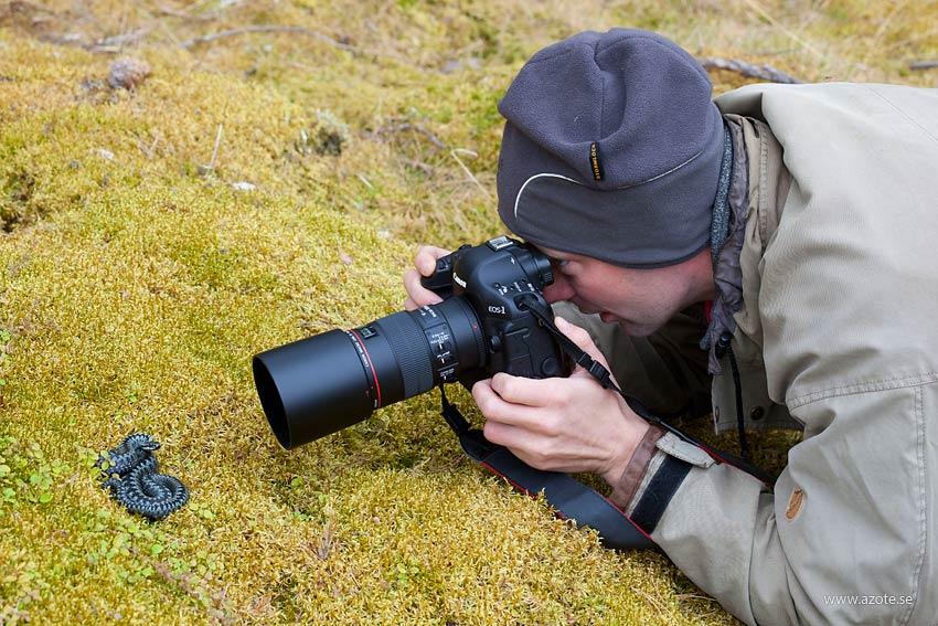 Huggorm (Vipera berus) med fotograf